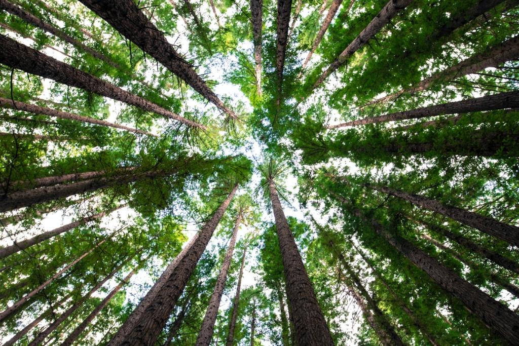 Cimes d'arbres verts